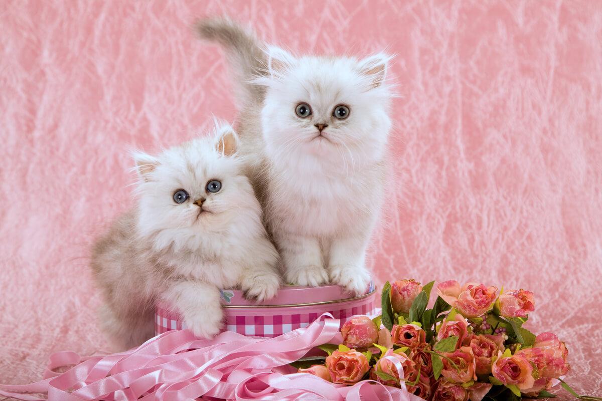 Élevage de chat persan Chinchilla.