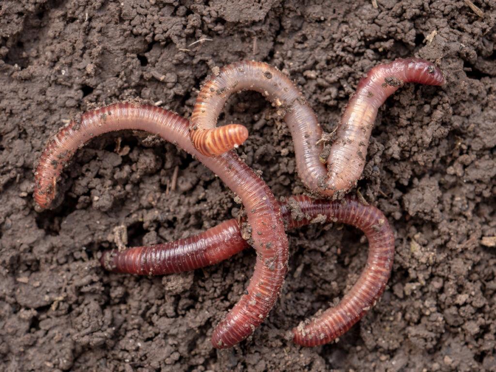 ¿Cómo se reproducen los gusanos?