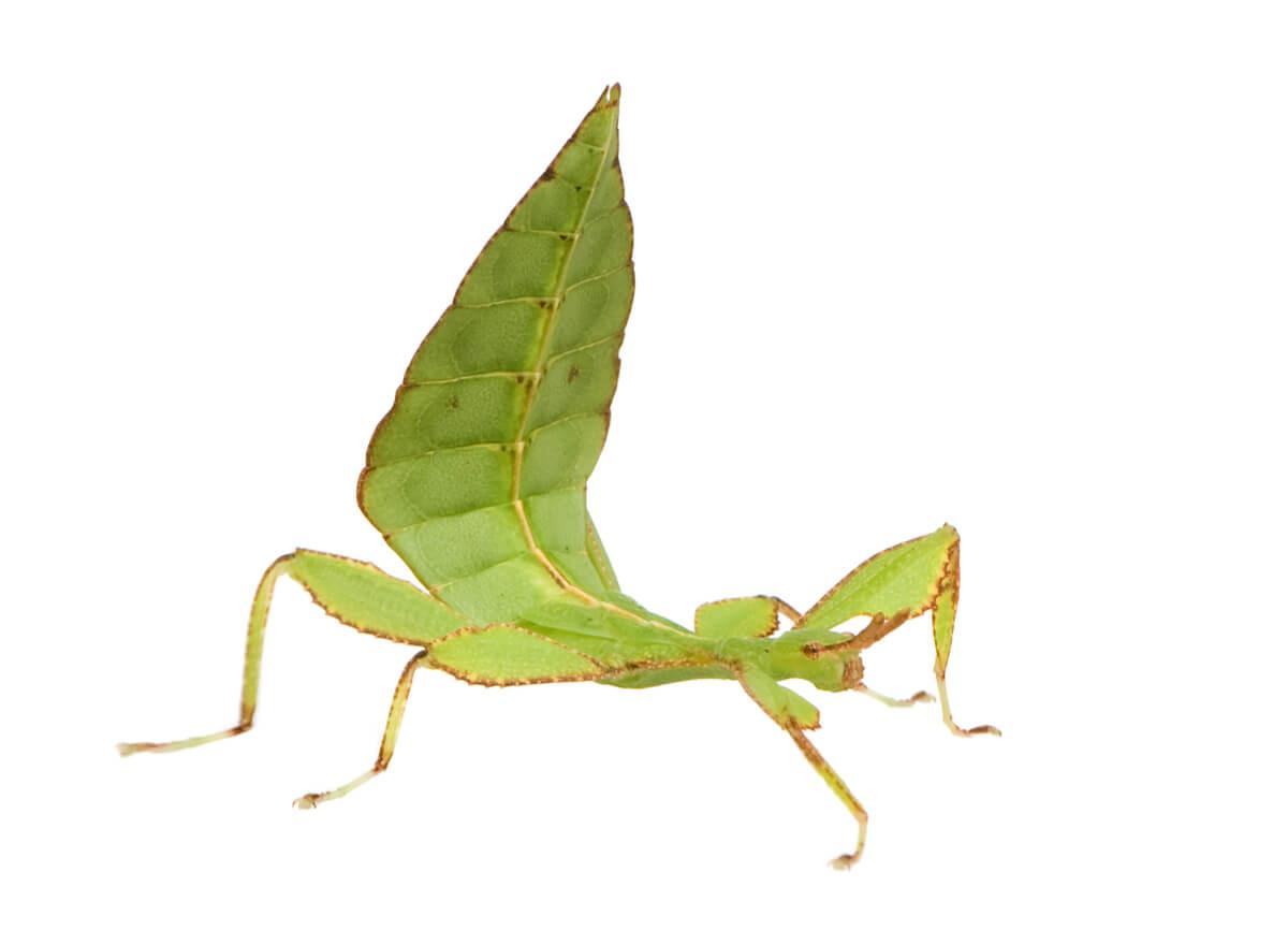 Un insetto foglia su uno sfondo bianco.