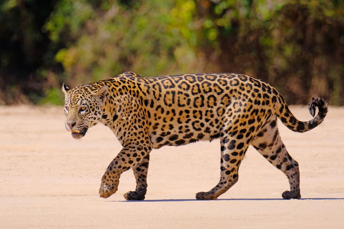 Un exemplar de jaguar i lleopard.