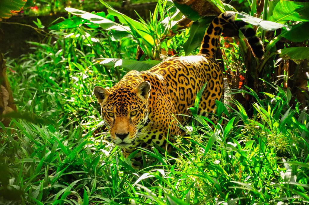 ¿Cuál es la diferencia entre el jaguar y el leopardo?