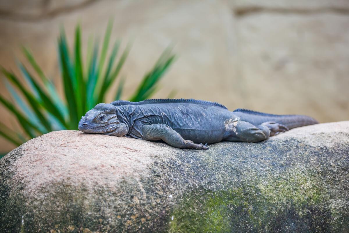 Una iguana sentada sobre una piedra.