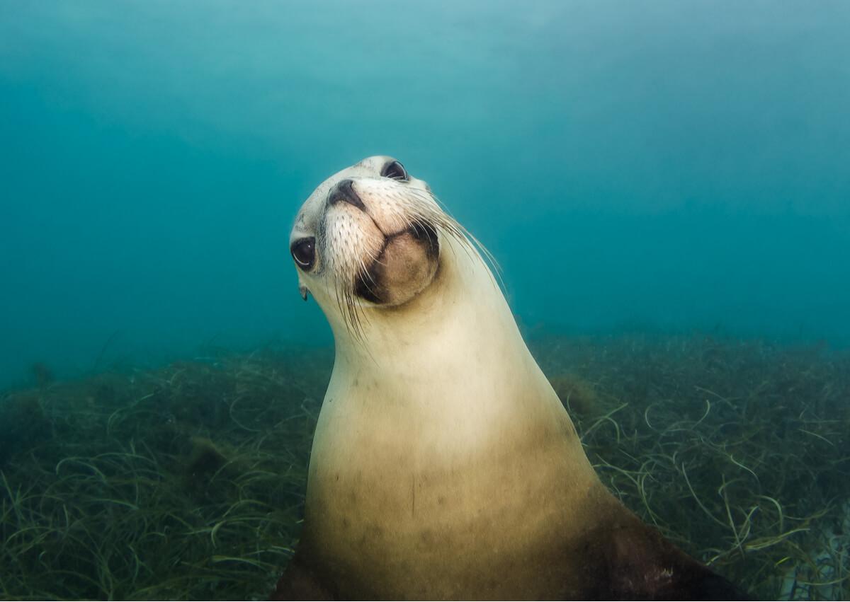 Los leones marinos son curiosos por naturaleza.