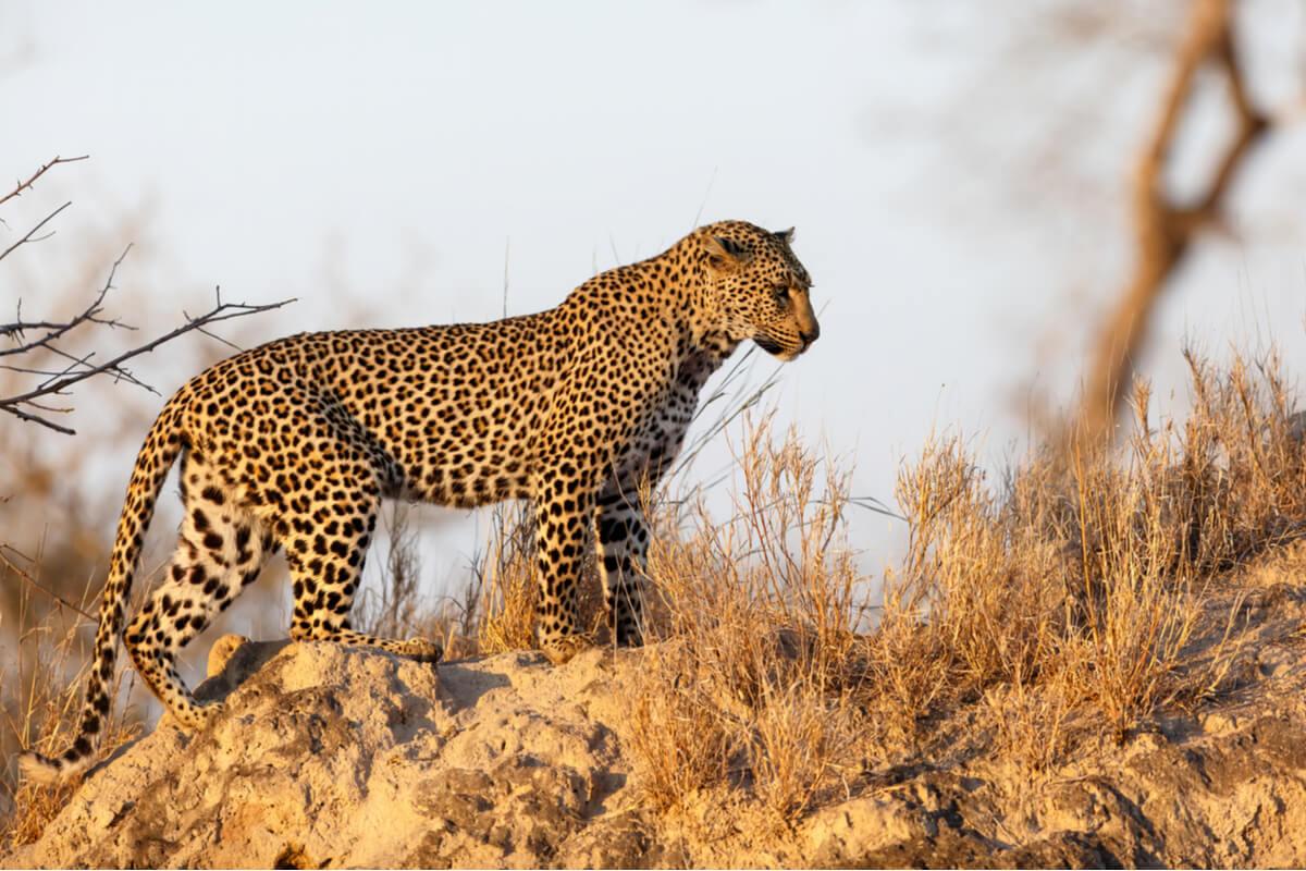 Un exemplar de lleopard .