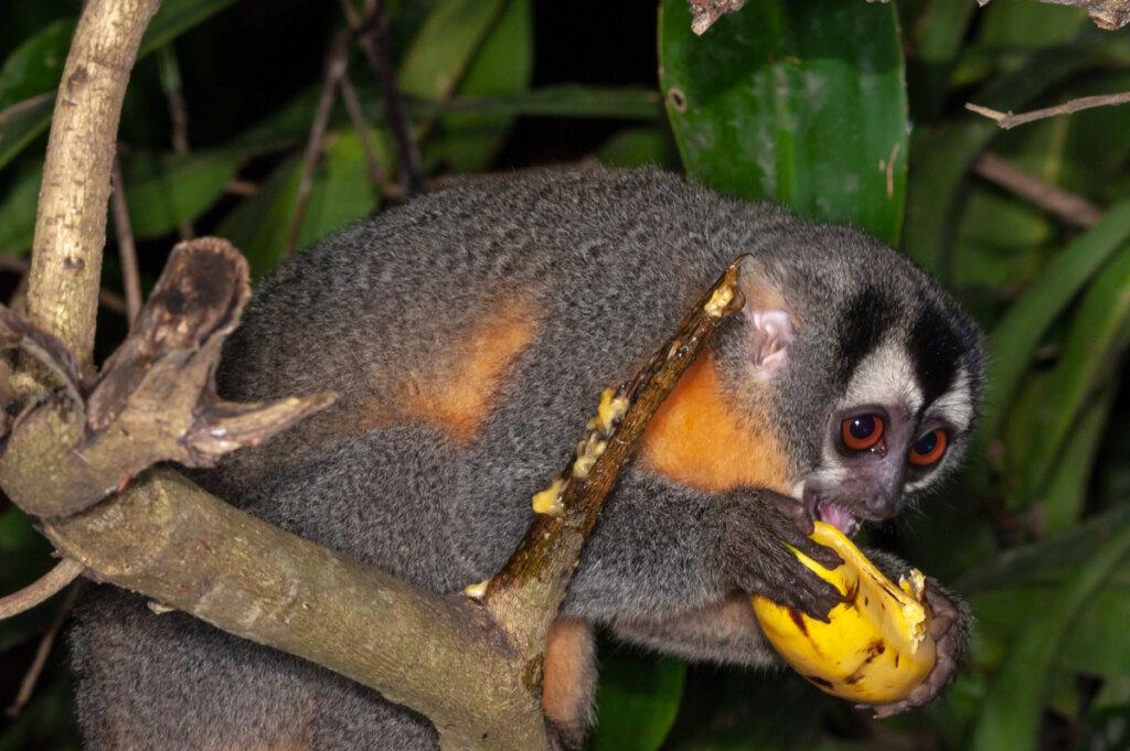 Mico de noche: hábitat y características