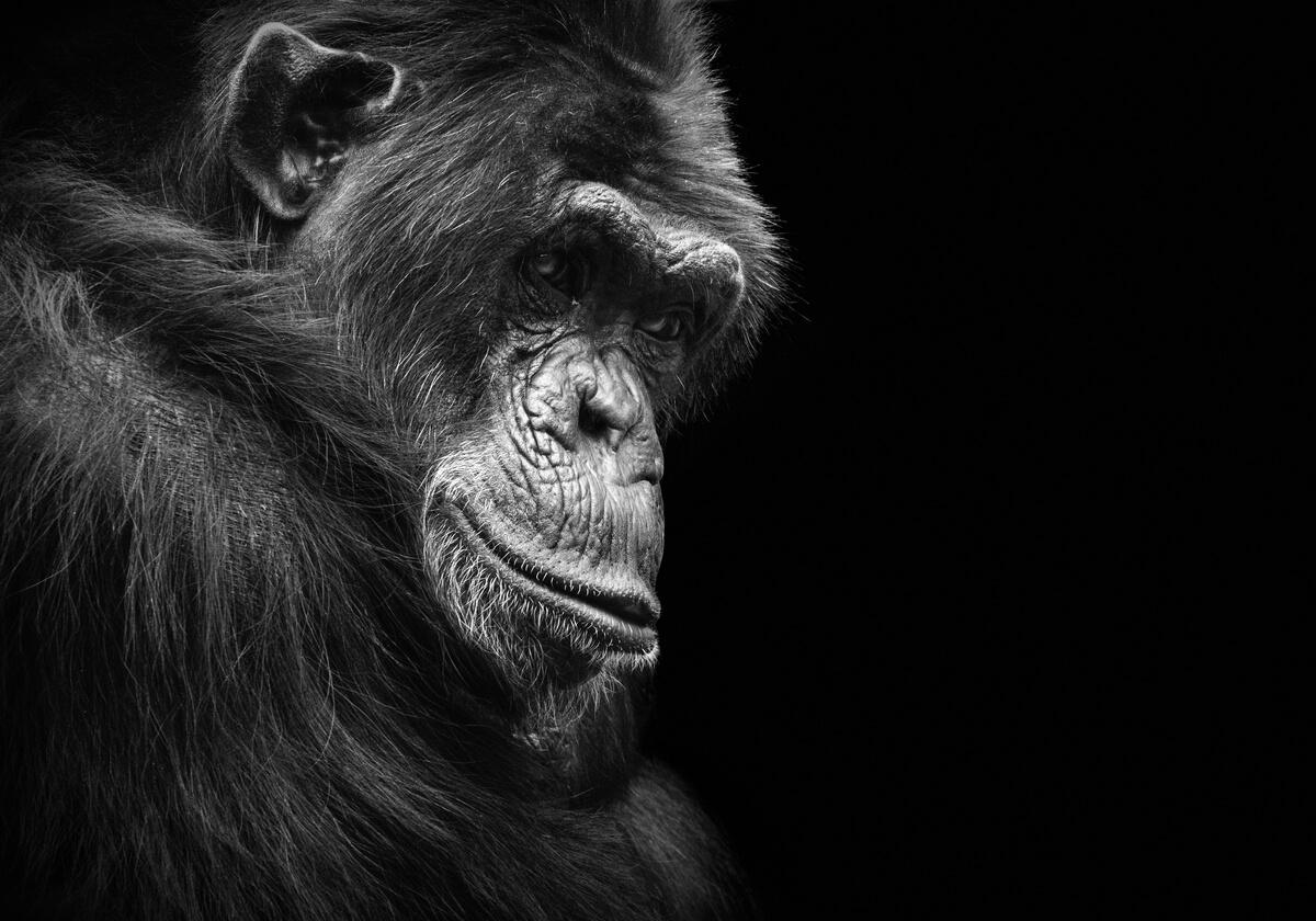 Alguns macacos são animais que podem sofrer de depressão.