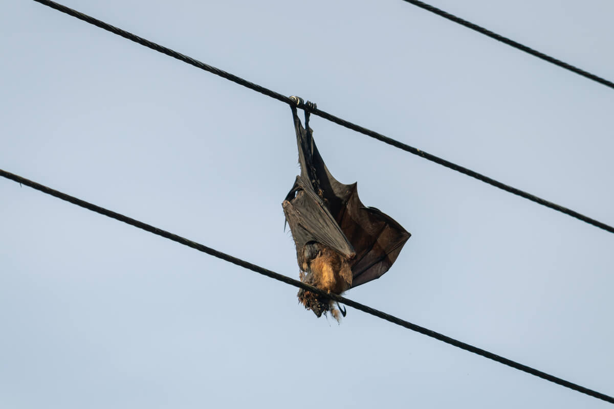 Un murciélago sobre un cable de alta tensión: claro ejemplo de un efecto trampa.