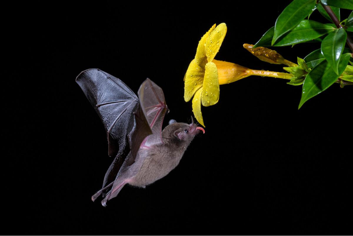 ¿Los murciélagos ayudan a la polinización?
