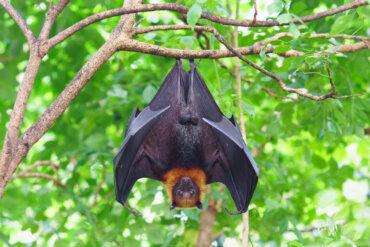 Los murciélagos y la rabia: ¿pueden ser transmisores?