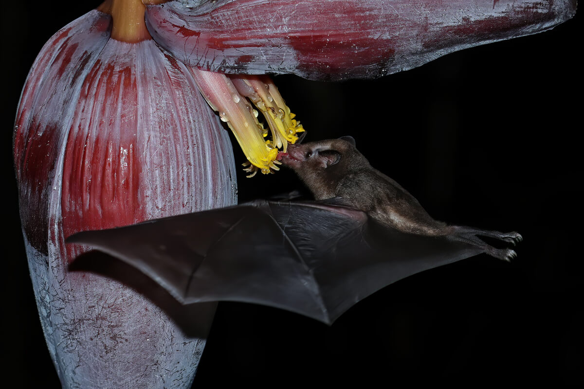 Bats and pollination are interchangeable terms.