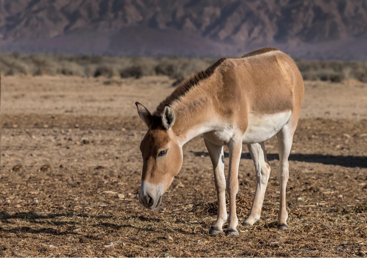 Un onagro en el desierto.