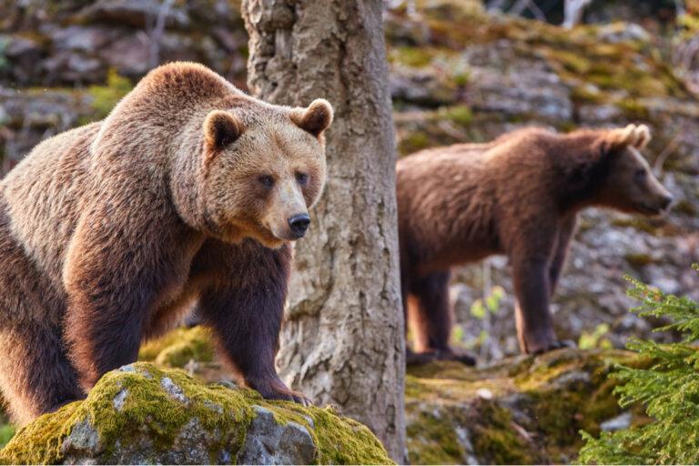 Los osos en el Pirineo