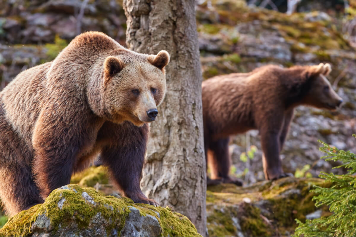 Efectos del cambio climático sobre los osos cantábricos