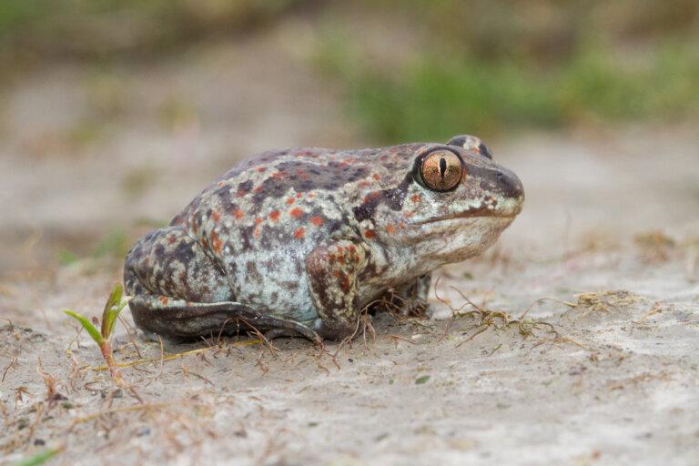 Sapos de espuelas: tipos, hábitat y características