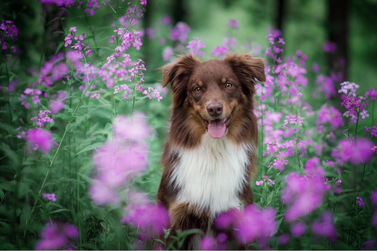 La alergia estacional en perros es más común de lo que parece.