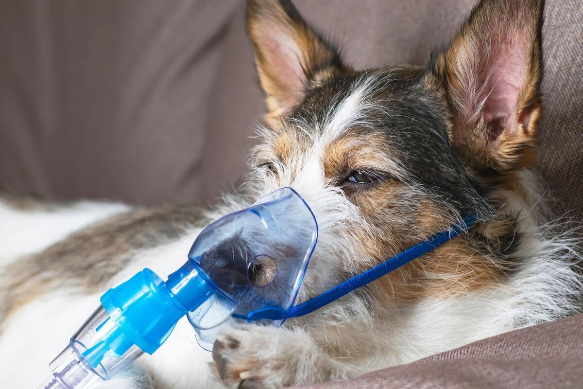 Un perro enfermo con un respirador.