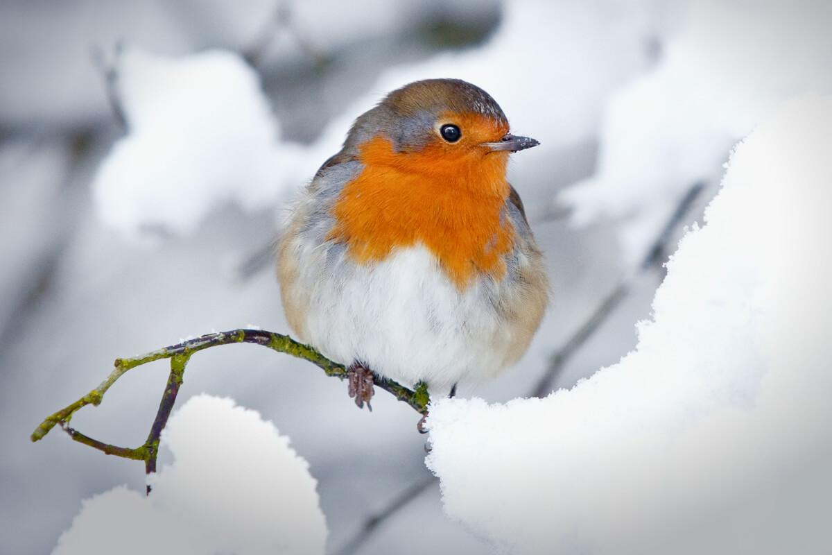 Un petirrojo en la nieve.