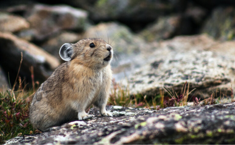 Pikas o liebres silbadoras: hábitat y características