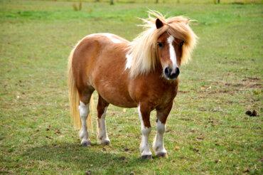 Las razas de ponis más populares