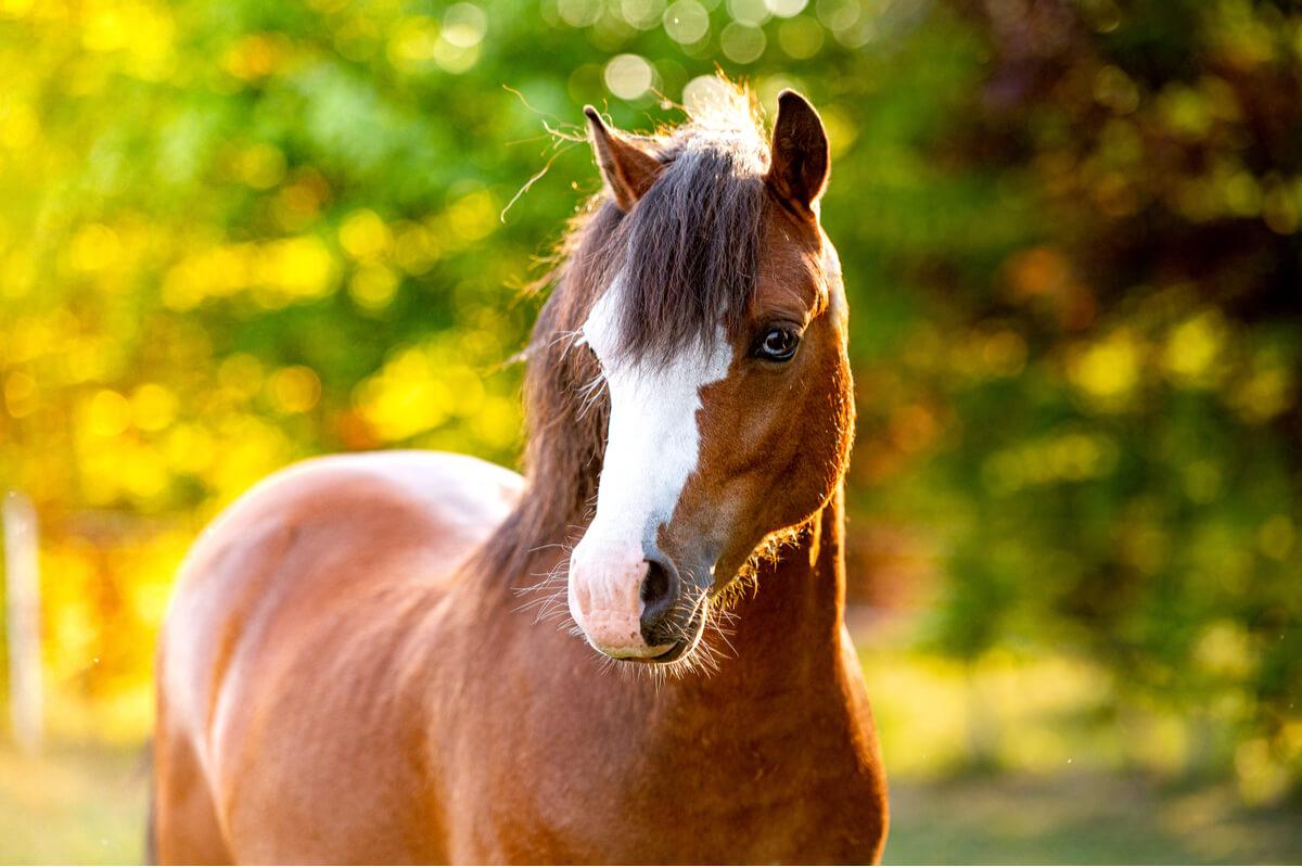 Un poni welsh. Es una de las razas de ponis.