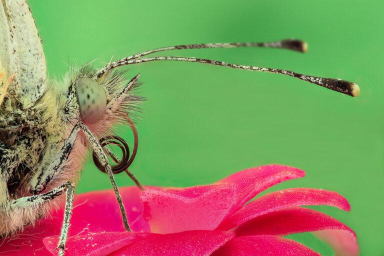 ¿Cómo se alimentan las mariposas?