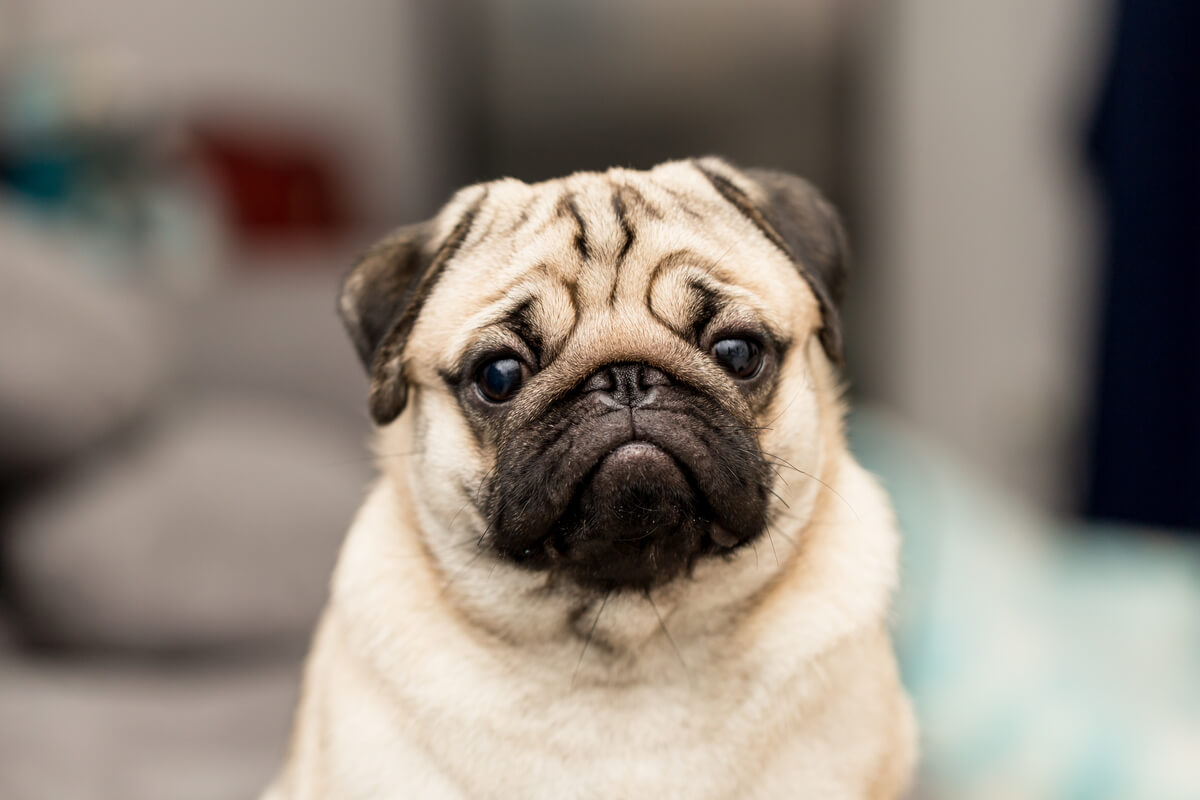Pugs are an example of inbreeding in pets.