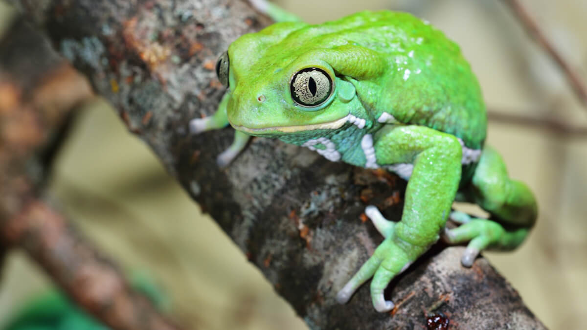 One of the curiosities of frogs is that some secrete waxes.