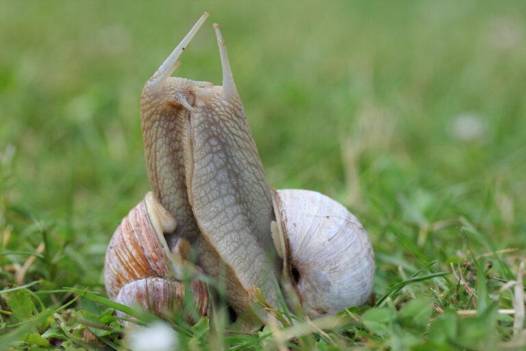 Reproducción de caracoles en cautividad