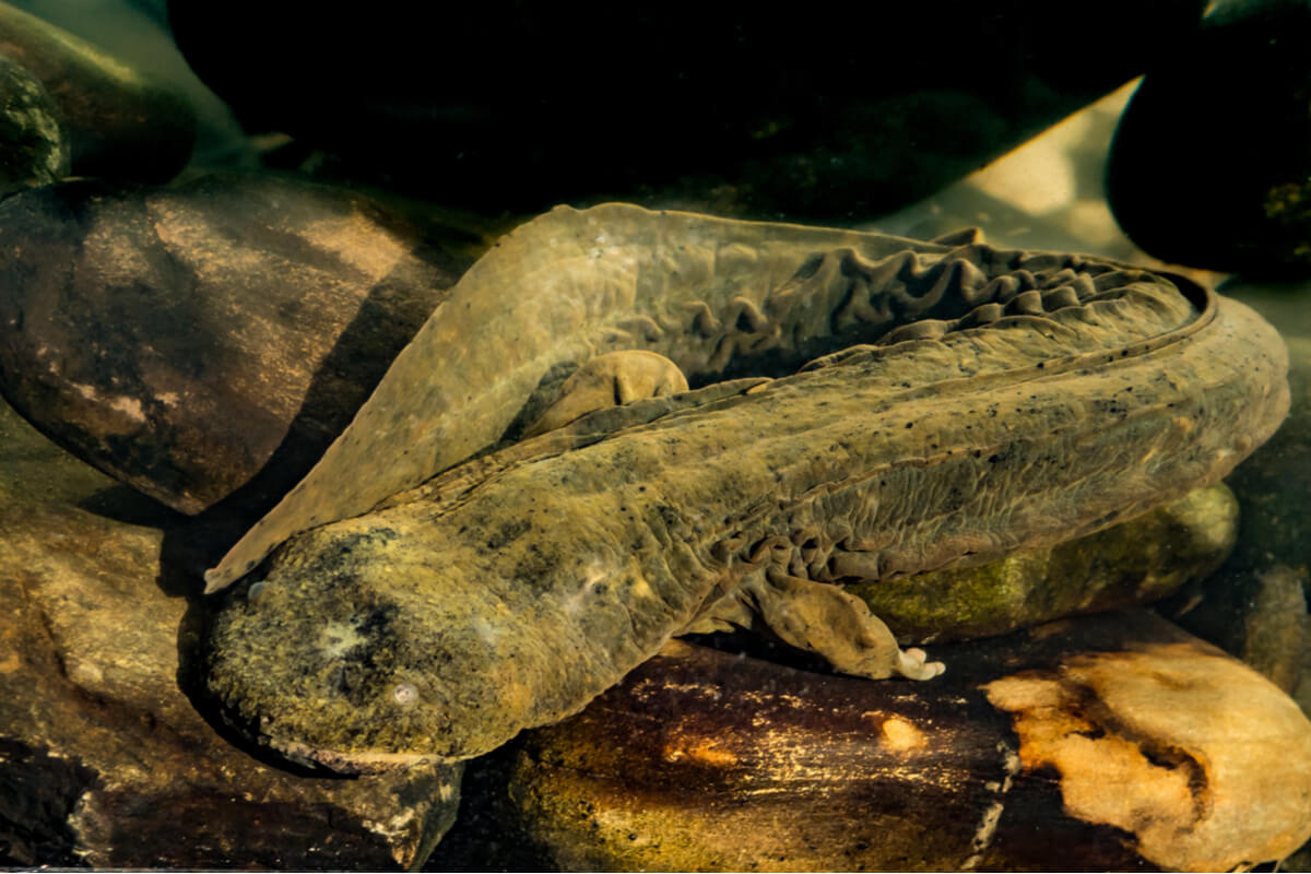Una salamandra gigante.