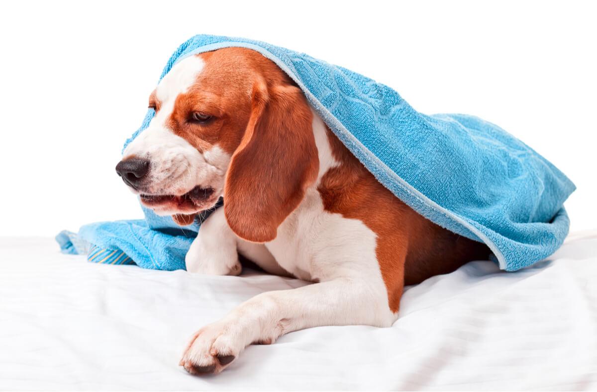 ¿Cómo tratar los problemas articulares en perros ancianos?