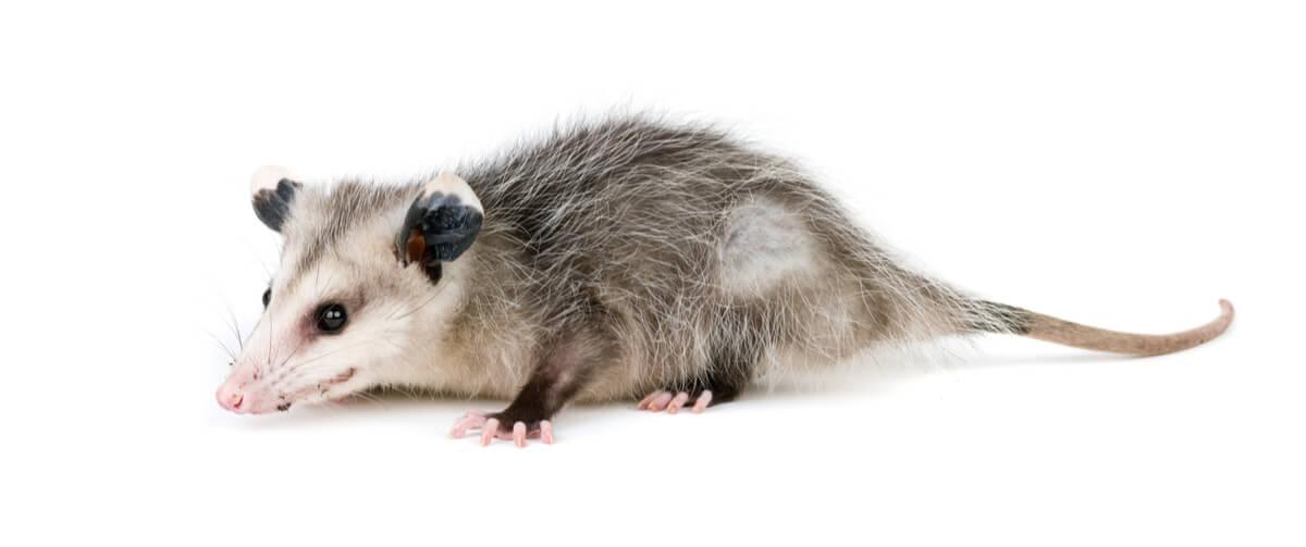 Les opossums font semblant d'être morts.