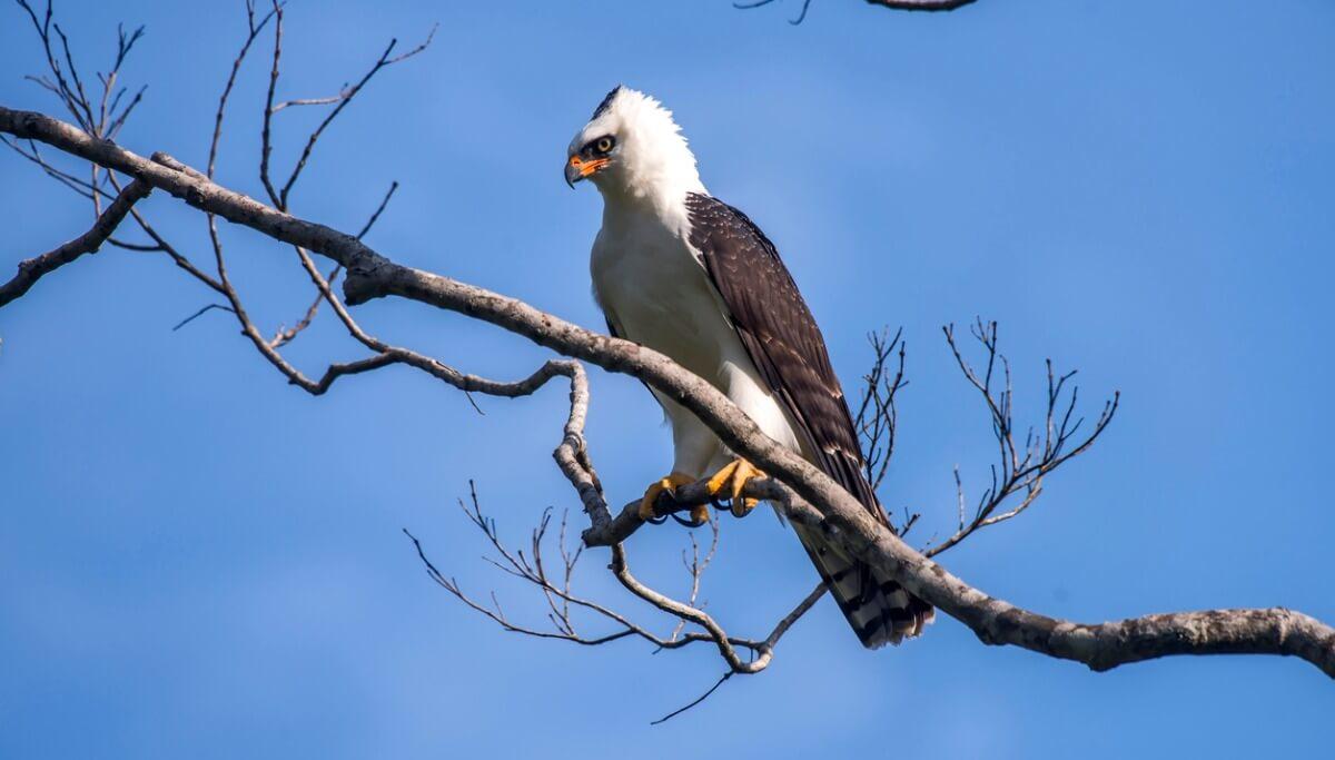 Un águila viuda posada sobre un árbol.