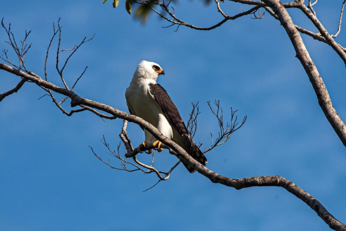 Un águila viuda.