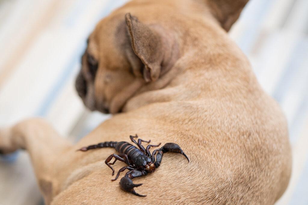 Picadura de alacrán en perros: ¿Cómo actuar?
