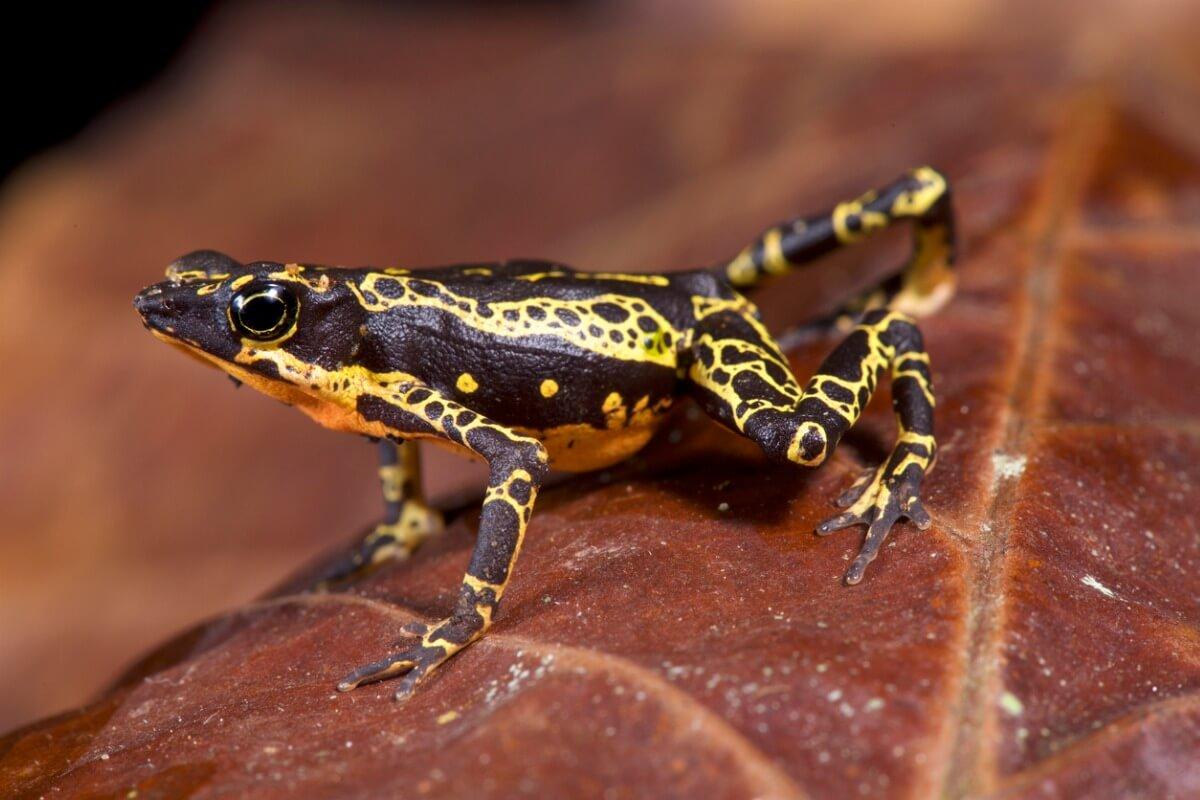 Uno de los animales en peligro de extinción de Ecuador.