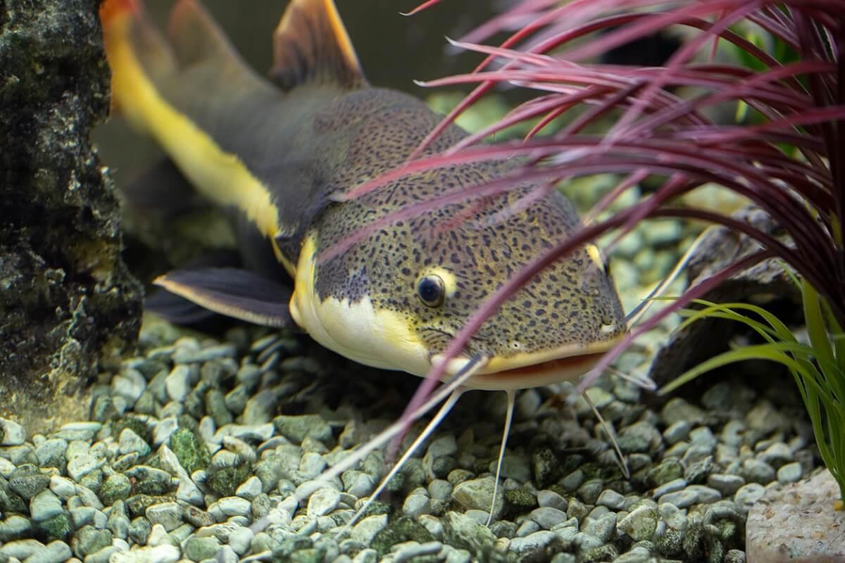 O peixe-gato é um dos animais que comem os mosquitos.