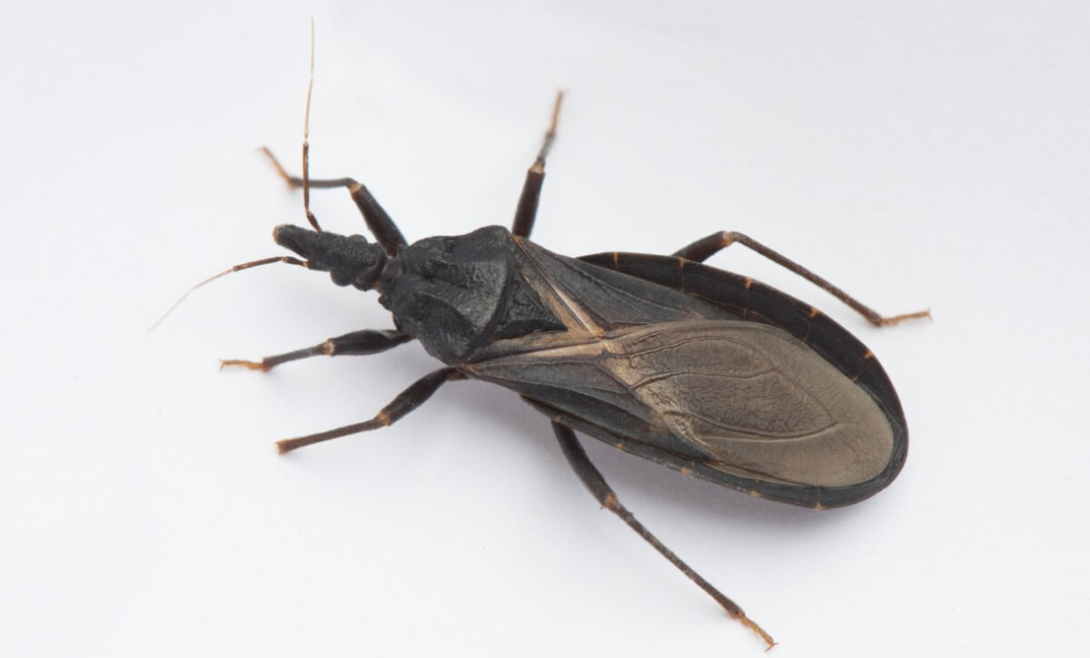 O besouro faz parte dos animais vampiros.