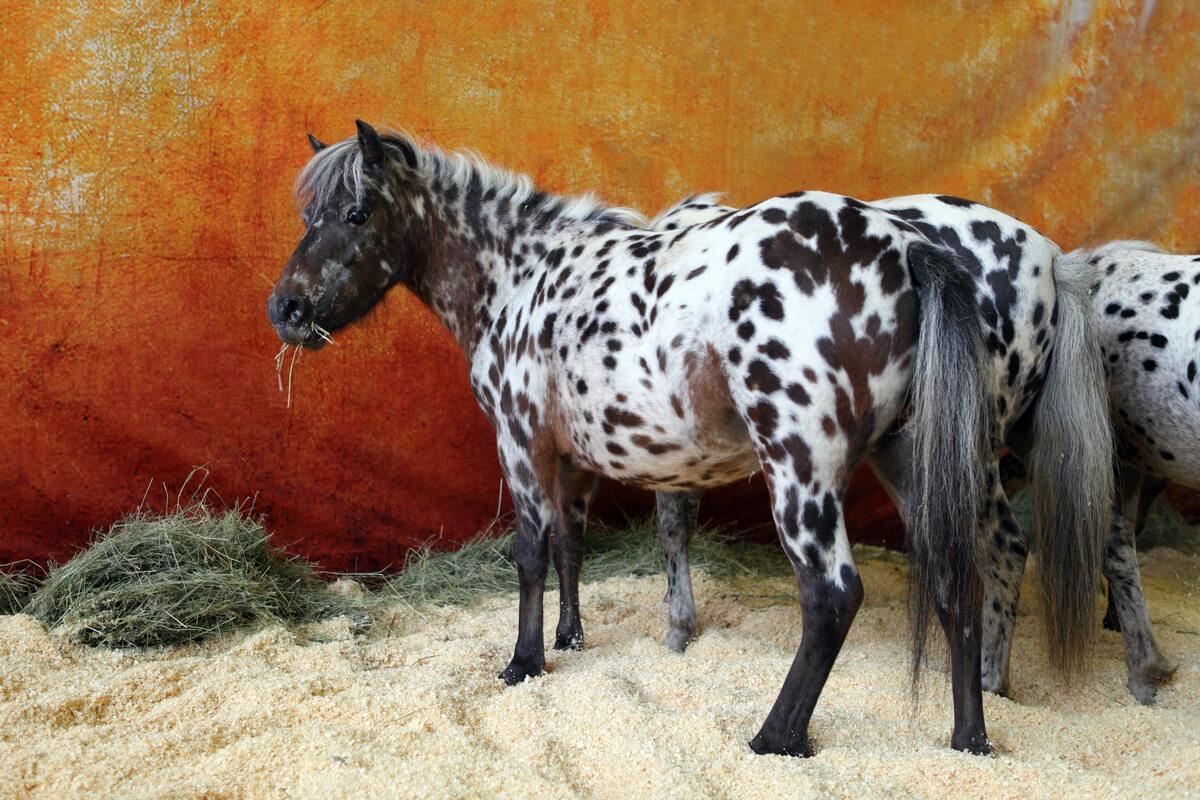 Un caballo falabella.