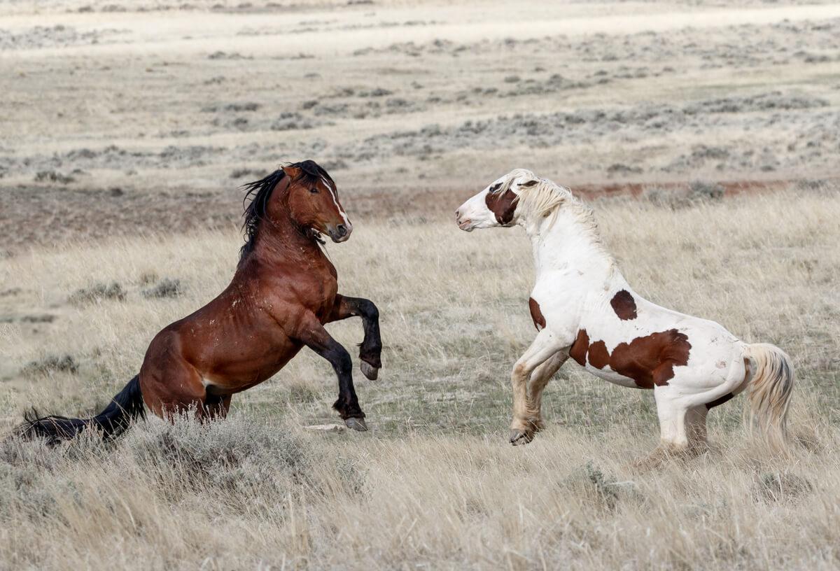 Razas de caballos mustang.