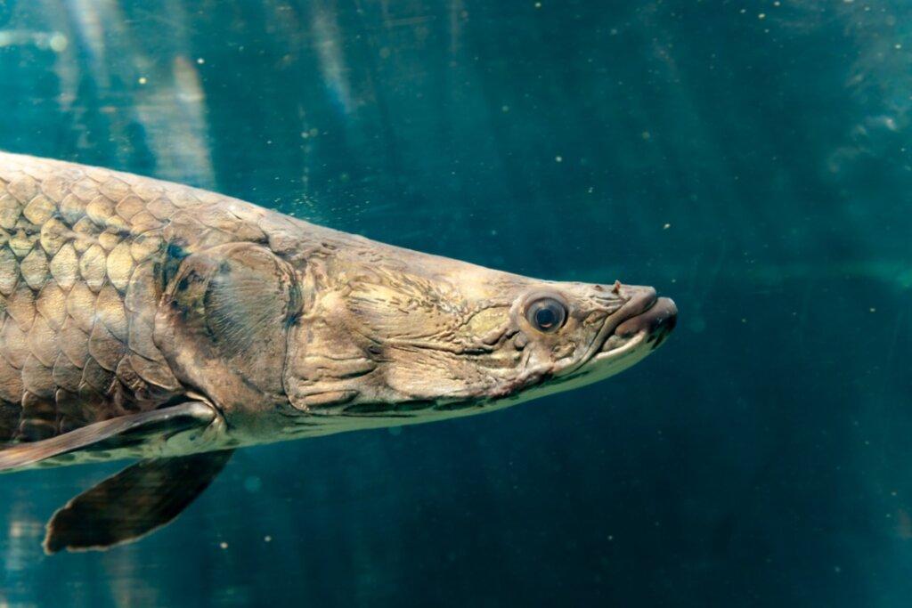 Los 5 peces de agua dulce más grandes del mundo