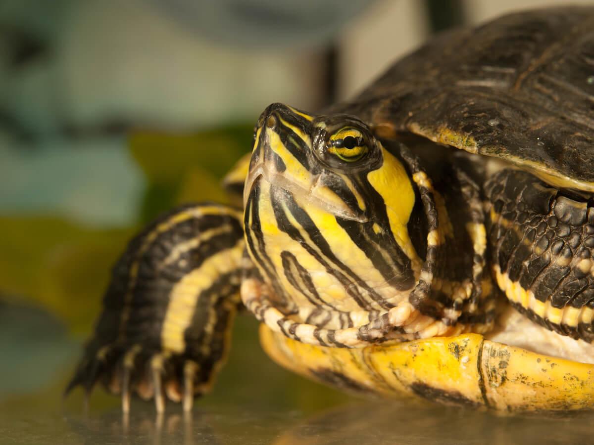 La cabeza de una de las tortugas de orejas amarillas.