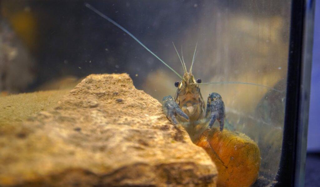 El cangrejo de mármol, un animal que se clona a sí mismo