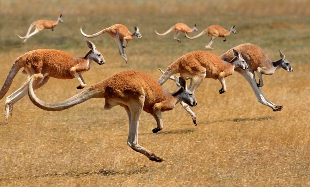 Un canguro rojo corriendo.