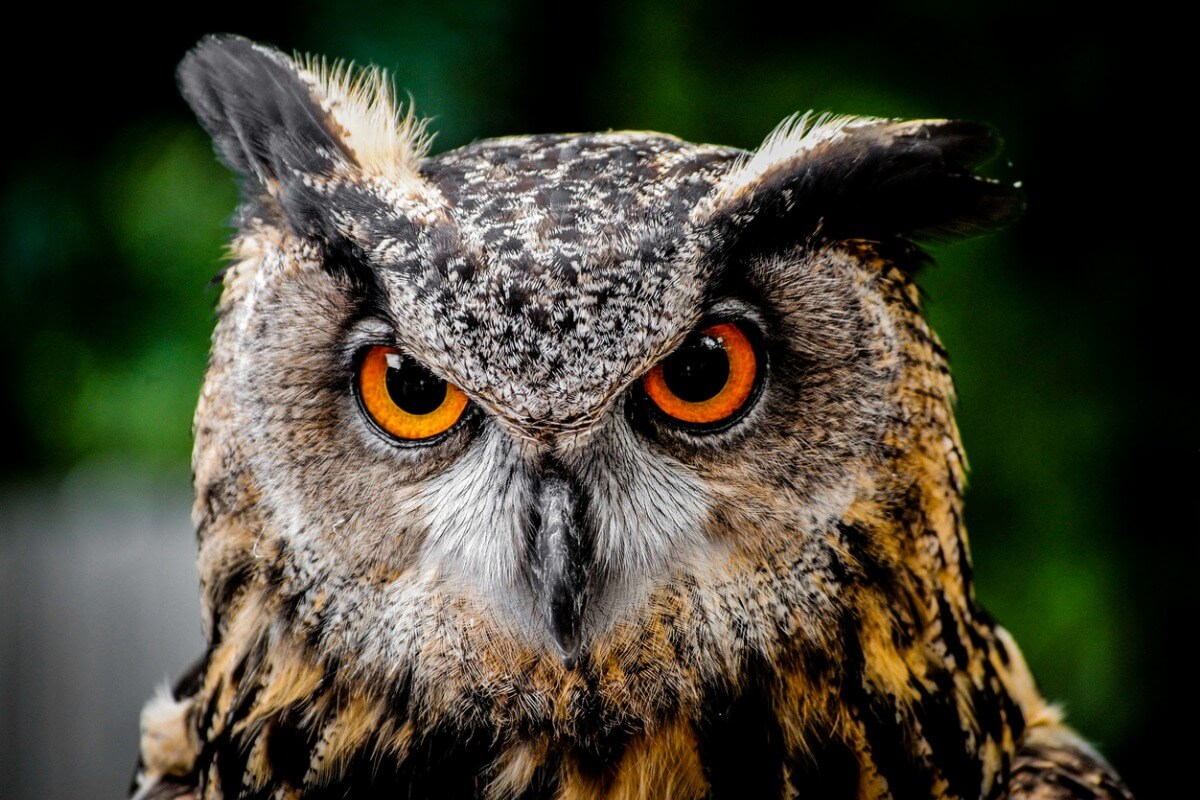 An owl looks at the camera.