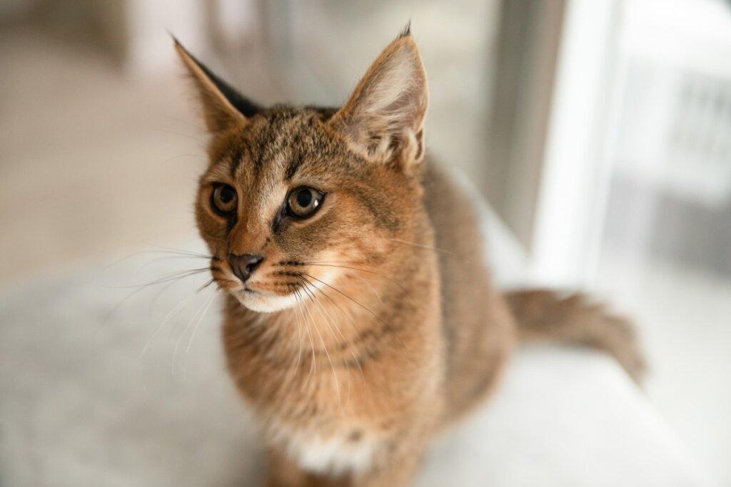 Gato caracat: características, origen y dilemas éticos