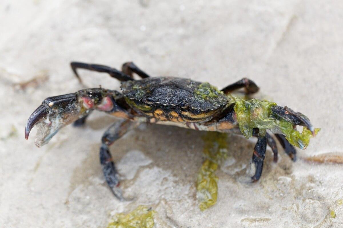 Le crabe vert est l'une des espèces envahissantes.