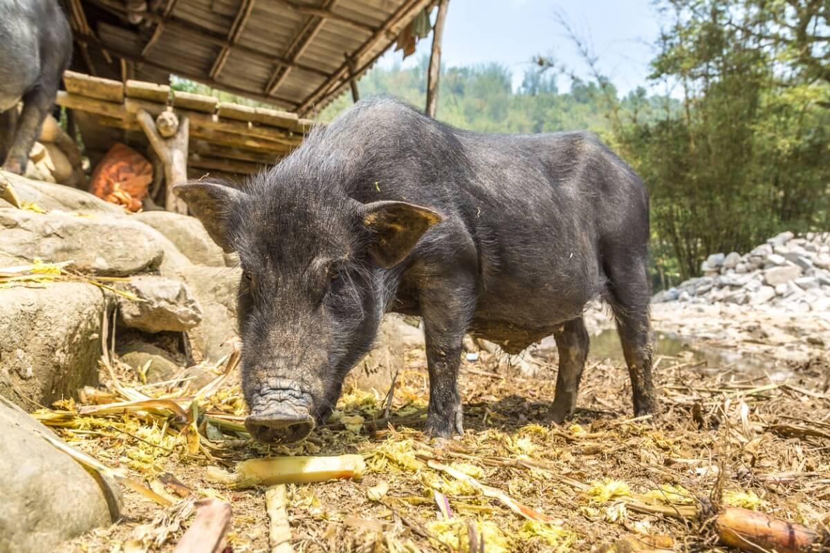 ¿Qué es el cerdolí y cómo afecta al ecosistema?