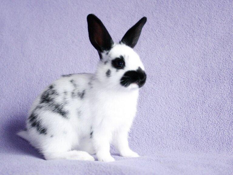Conejo mariposa: cuidados, comportamiento y alimentación