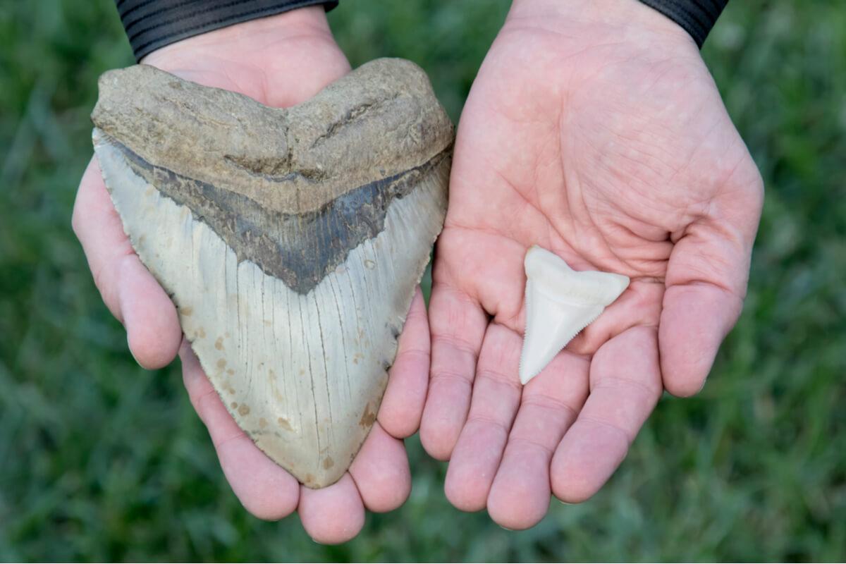 Un diente de un megalodón comparado con uno de un tiburón normal.