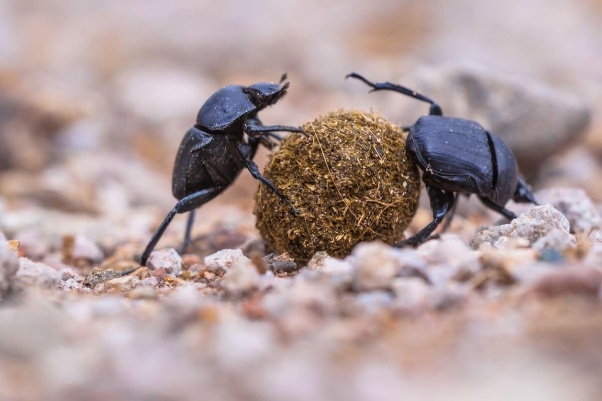 Los escarabajos peloteros son animales descomponedores.